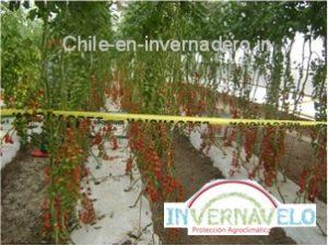 Con un cultivo de chiles en invernadero las condiciones de inocuidad mejoraran ampliamente.