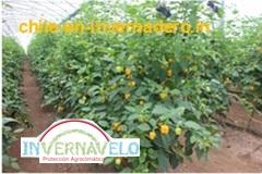 El cultivo de chile en invernadero es ideal para cualquier especie de chile
